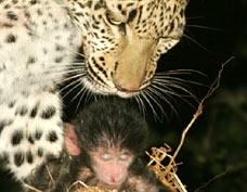 Abortion: Leopards Vs Hyenas
